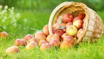 Schiacciatina di mele renette